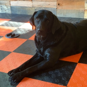 This good dog shows off our Harley-Davidson officially licensed flooring.